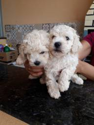 Filhotes Poodles Toy