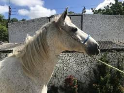 Cavalo tordilho de marcha picada do haras Feijó