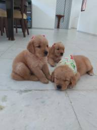 1.200 filhotes de Golden retriever
