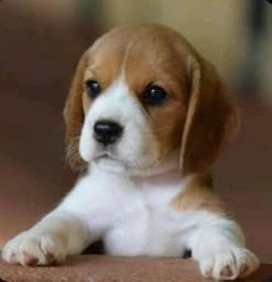 Beagle filhotes super divertidos confira na MK DR PET