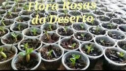 Mudinhas Flor Deserto