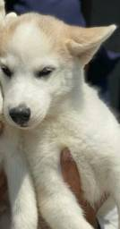 Husky Siberiano pedigree e microchip opcional