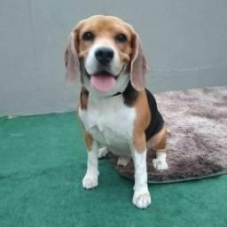Filhote de beagle fêmea disponível para venda!