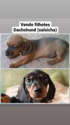 Filhotes de Salsicha