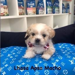 Título do anúncio: Lhasa apso lindos filhotes a pronta entrega