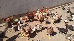 Vendo galinhas, galos e patos