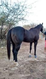 Cavalo QM PO