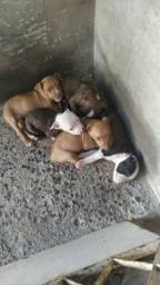 Filhotes de pitbull (Puro)