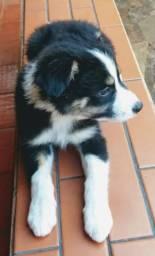 Border Collie - O cão mais inteligente do Mundo