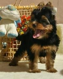 Yorkshire Terrier Machinho Alto Padrão