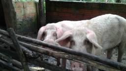 Dois porcos