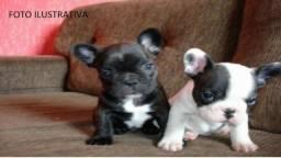 Bulldog Francês 100%Puros , Para quem quer o legítimos da raça - WhatssApp (86) 99465-4263