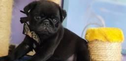 Pug Pretinho Macho 50 dias Vacinado