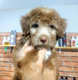 Poodle pura muito linda e muito FOFOS, bem espertos saudável e brincalhões.