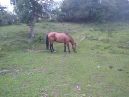 Vendo cavalo crioulo puro porem ligeiro aceito troca Caxias do Sul