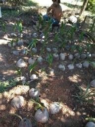 Vendemos mudas de coqueiros e cocos cecos