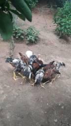 Ovos de galinhas brahma e caipira