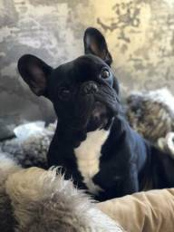 Lindo Bulldog Francês Venda