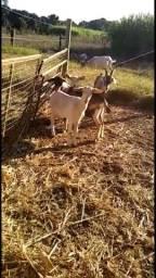 Cabras, bodes e cabritos