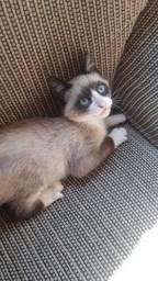 Filhotes de gato siamês moro em GUAÍBA