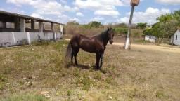 Cavalo Cachito