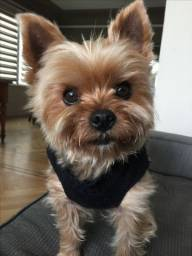 Yorkshire Terrier fêmeas baby face