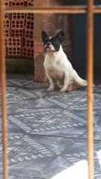Belíssimo  bulldog  francês  para  cruza