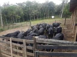 Vacas bezerros
