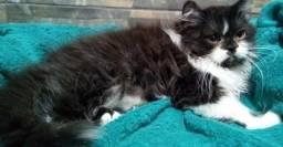 Belo filhote de gato persa macho legítimo.Parcelo no cartão.Entrego em Curitiba e região