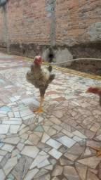 Frango e galinhas