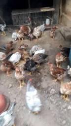 Lote de frangos