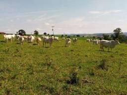 Vacas com cria e à criar