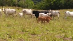 9 vacas com cria ao pé e mais um touro braford.