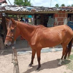 Cavalo de carroça, aceito troca