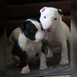 Bull Terrier fêmeas e machinhos,  filhotes com garantias!