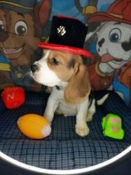 Título do anúncio: beagle pronta entrega porte medio dos filhotes
