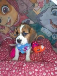 beagle disponivel venha conferir filhotes lindos pronta retirada