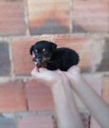 Filhote Poodle Fêmea Muito Pequena