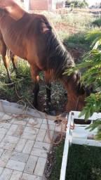 Cavalo novo