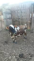 Vende-se mini vacas
