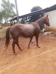 Cavalo quarto de molha