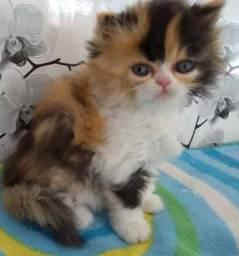 Lindos filhotes de gatos persas legítimos.Parcelo no cartão.Entrego em Curitiba e região