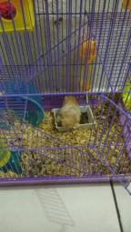 Vendo casal de hamster sírio R$:250,00 reais