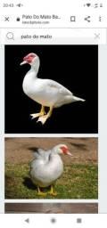 Casal de pato