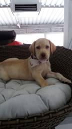 Labrador macho 3 meses Pedigree