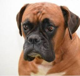 Estou vendendo  cachorro Boxer  mais ou menos 1 ano de idade puro
