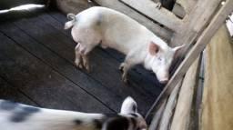 Porco reprodutor  1.200,00