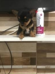 Chihuahua machinho pelo longo disponível