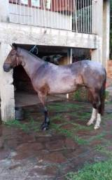 Vende-se égua crioula pura