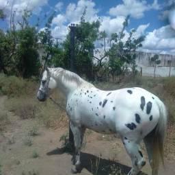Cavalo de vaquejada Appaloosa ZAP